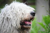 Komondor - a Hungarian sheep-dog — Stock Photo