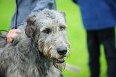 A beautiful Irish Wolfhound dog head portrait — Stock Photo