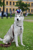 Husky, close-up portrait of a dog — Stock Photo
