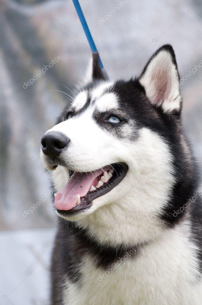 annoyed husky meme - photo #14