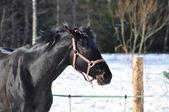 Black sportive horse — Stock fotografie