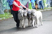 Irish Wolfhound dogs — Stock Photo