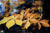 Autumn leaves of chestnut — Stock Photo