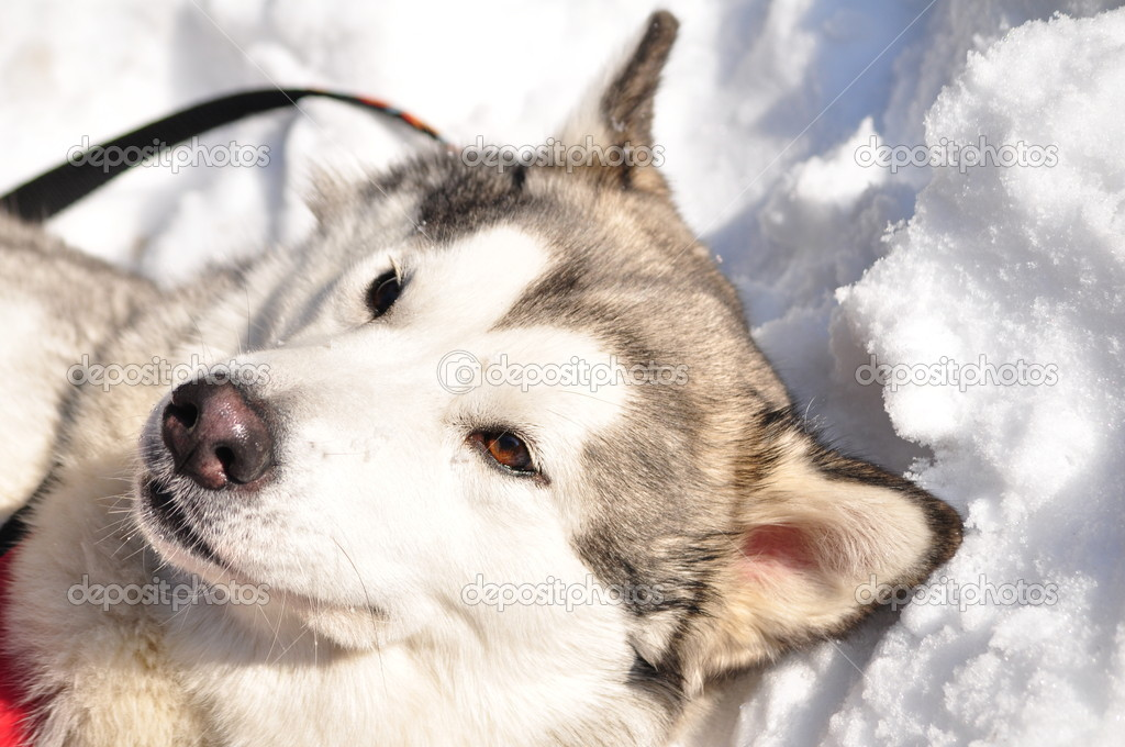 An Alaskan Malamute Dog  Stock Photo #4567652