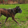 Boxer Dog - Stockfoto