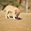 Small brown amusing puppy — Stock Photo