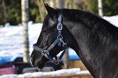 Black sportive horse — Foto Stock