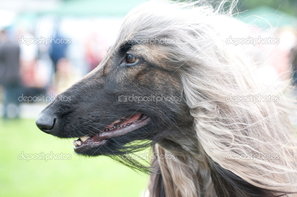 Afghan Hound on grass background — Stock Photo #4581616