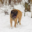 English mastiff - Stock Photo