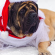 English mastiff — Stock Photo