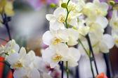 Białe storczyki — Zdjęcie stockowe