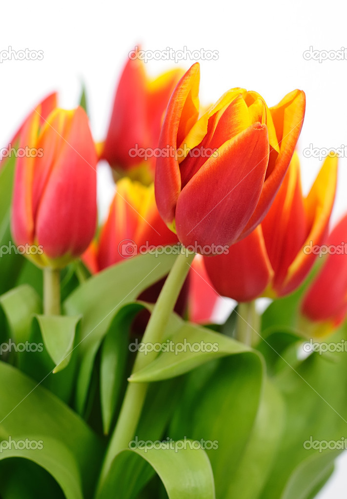 Beautiful red tulips closeup on white background  Stock Photo #5241455