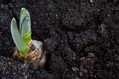 Young hyacinth — Stock Photo