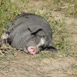 Black pig sleeping — Stock Photo #4250499