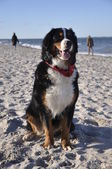 Bernese cattle dog posing at the beach — Stock Photo