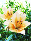 Lillies — Stock Photo