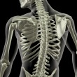 Torso of a medical skeleton — Stock Photo