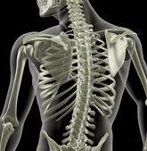 Torso of a medical skeleton — Stock Photo