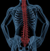 Spine of a medical skeleton — Stock Photo