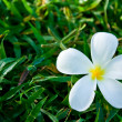 White plumeria on green grass — Stock Photo