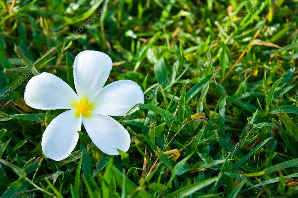 White plumeria on green grass — Stock Photo #4944267