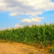 Corn field — Stock Photo #4330635