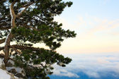 Thuja at the mountain top — Stock Photo