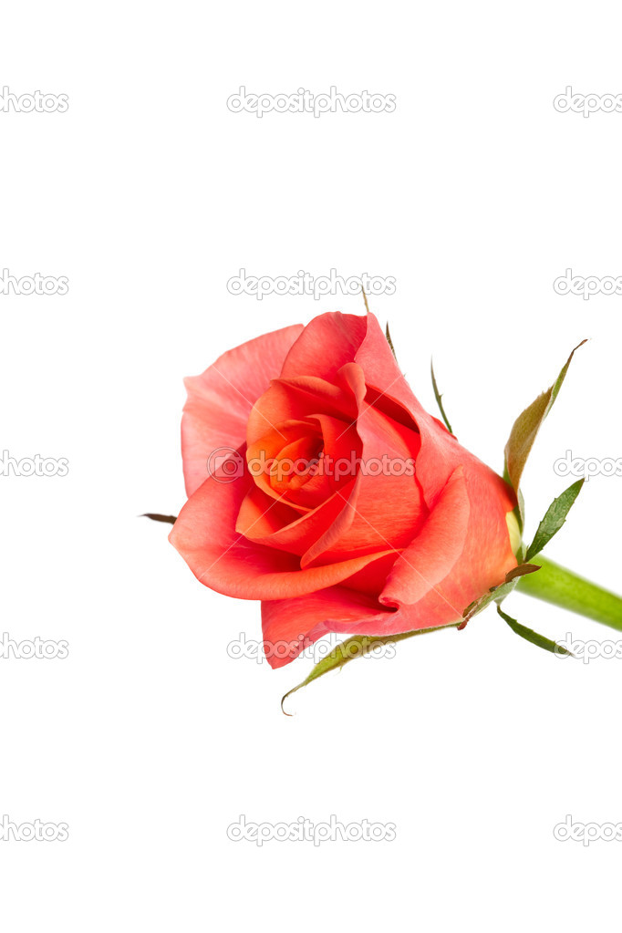 Red rosebud on white — Stock Photo #4382521