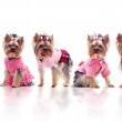 Group of cute dressed yorkshire terriers — Stock Photo
