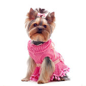 Cute yorkshire terrier in pink dress — Stock Photo