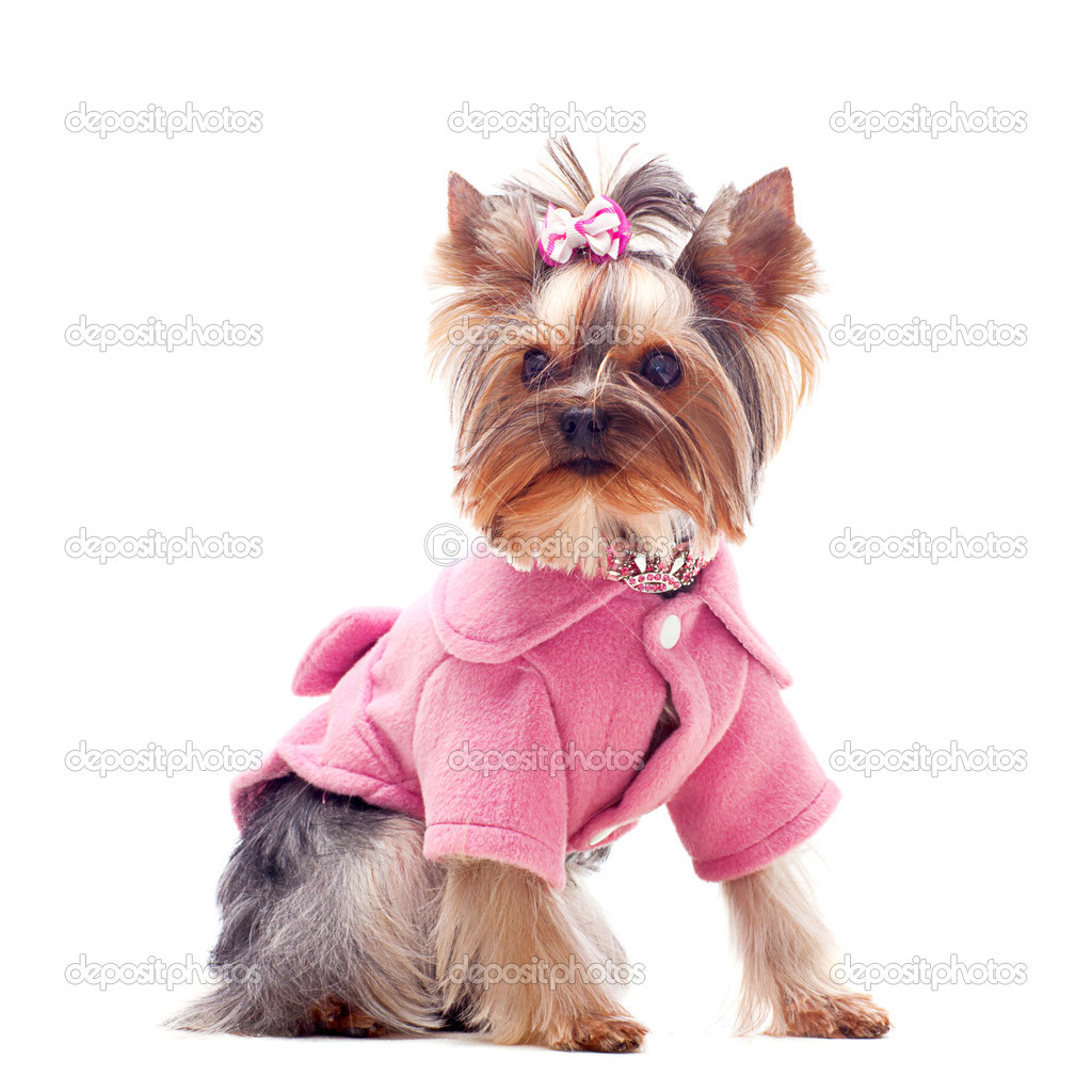 Portrait of a cute yorksire terrier in pink coat — Stock Photo #4456538