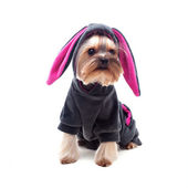 Cute yorkshire terrier in rabbit suit — Stock Photo