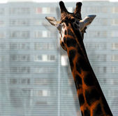 Giraffe looking out of the window — Stock Photo