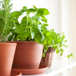 Rosemary, Basil and Mint in Pots — Stock Photo #5365709