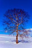 Meşe ağacı kışın — Stok fotoğraf