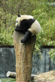 Panda velká — Stock fotografie