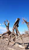 Dead trees in the desert — Stock Photo