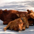 Stock Photo: Calf families