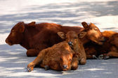Calf families — Stock Photo