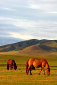Horses on grasslands — Stock Photo