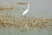 White heron bird at a lake — Stock Photo