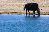 Zwarte jak op lakeside — Stockfoto
