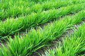 Leek growing in the fields — Stock Photo