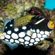 Royalty-Free Stock Photo: Clown Triggerfish in Aquarium