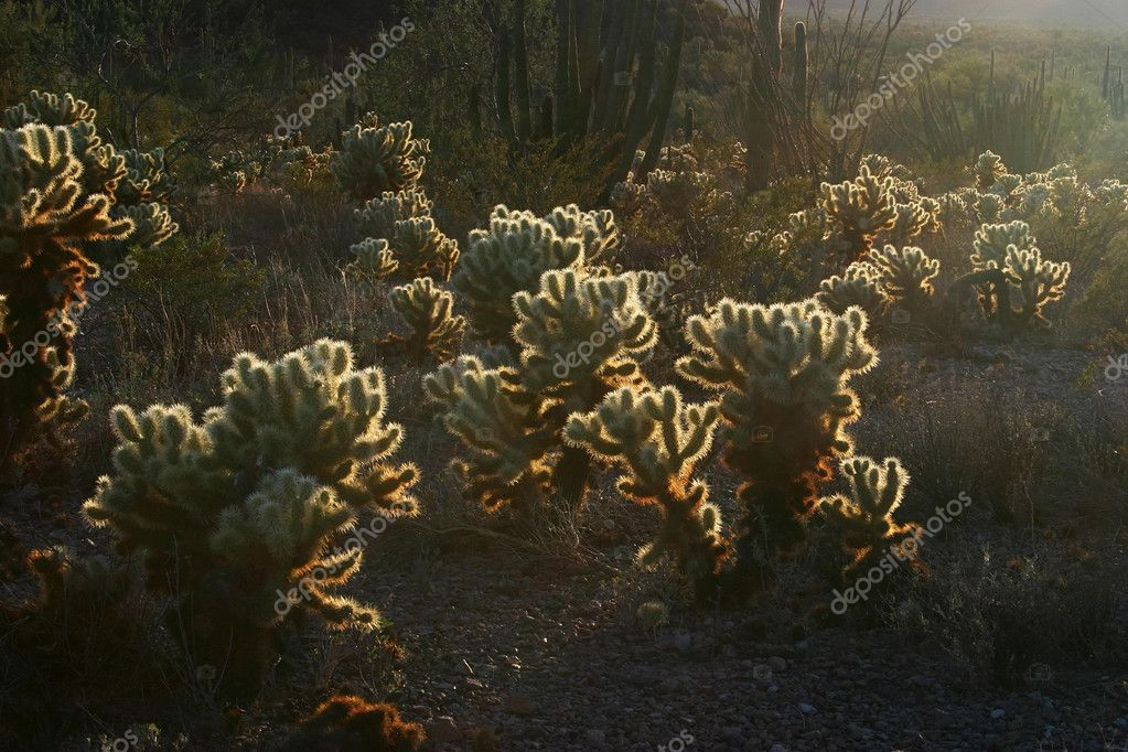 Chollas in the evening light  Stock Photo #5359457