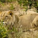 Lioness — Stock Photo #4328292