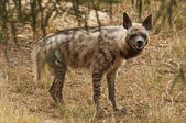 Portrait of hyena — Stock Photo