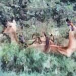 ������, ������: Impala Resting