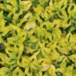 Variegated Carmel Creeper Fuzzy Background (Oil Painting - Monet — Foto de Stock