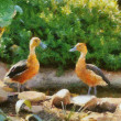 Stock Photo: Fluvous Whistling Ducks